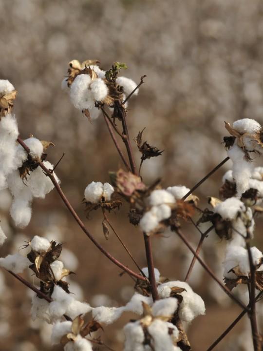 cotton-01