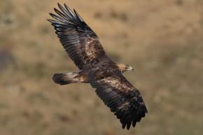 acc-acci-golden-eagle-aquila-chrysaetos-flying-c2a9wikic2 (1)