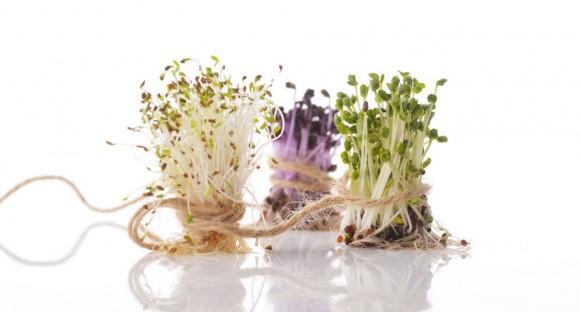 芽菜1598