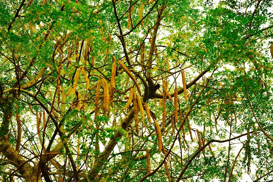 rsz_the_tree_and_seedpods_of_moringa_oleifera