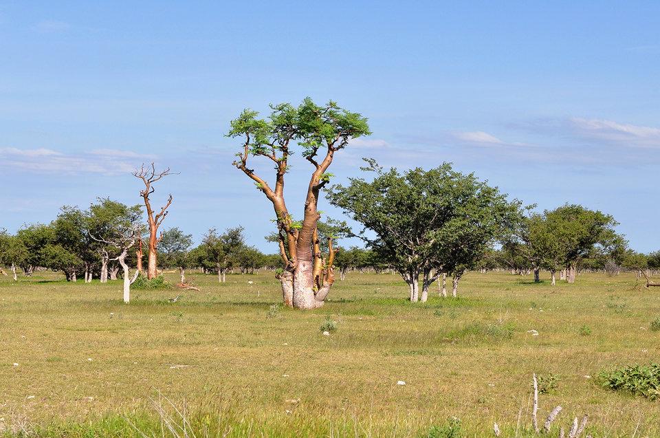 rsz_moringa-tree-africa